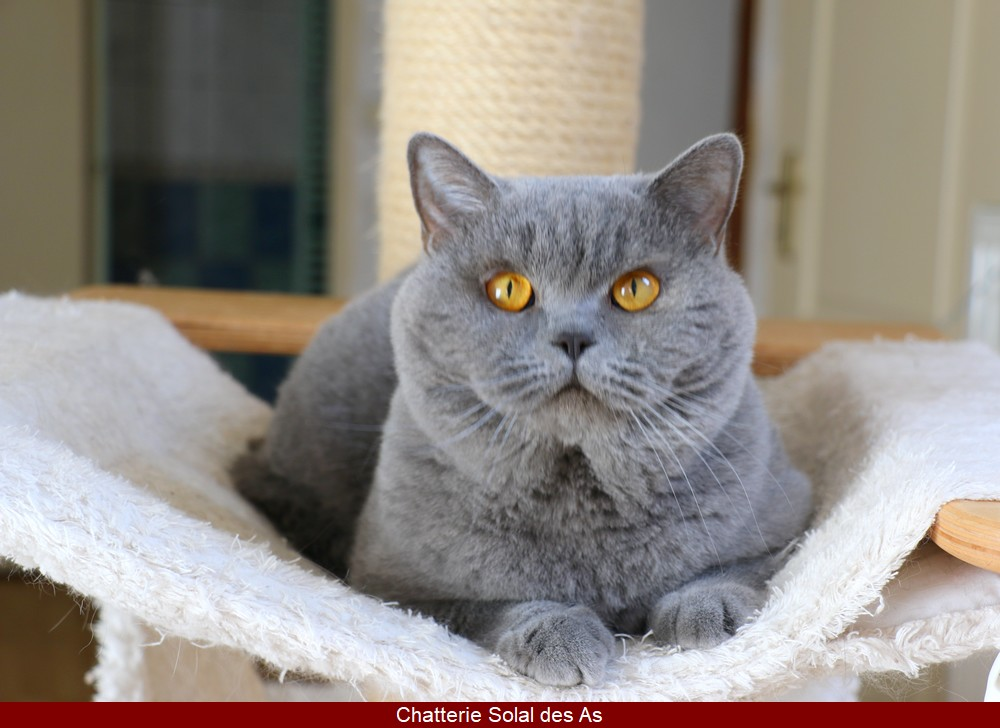 British shorthair adulte bleu