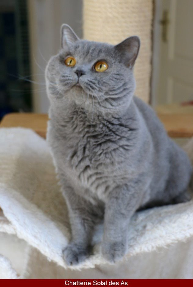 british shorthair male bleu