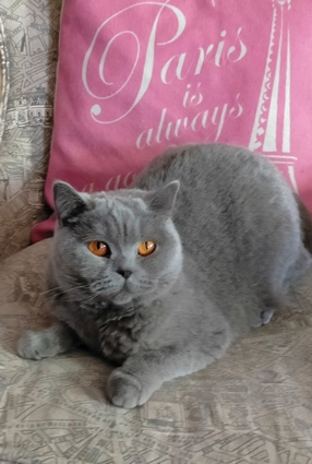 chat british shorthair bleu