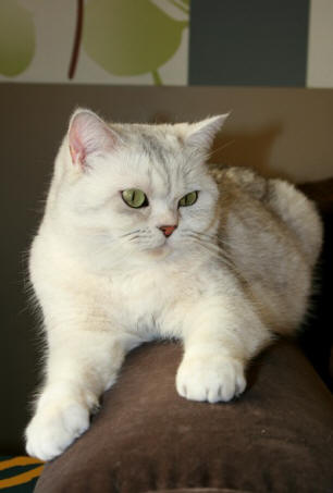 British shorthair black silver shaded